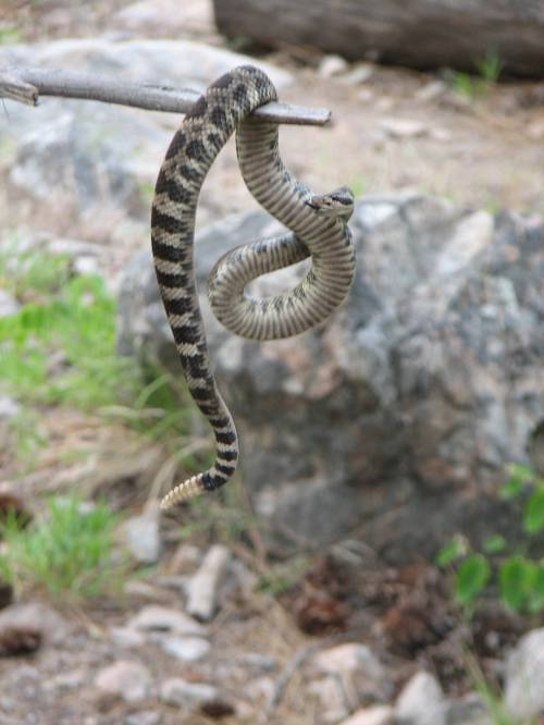 Watch out for the Rattlesnakes in Skaha!!